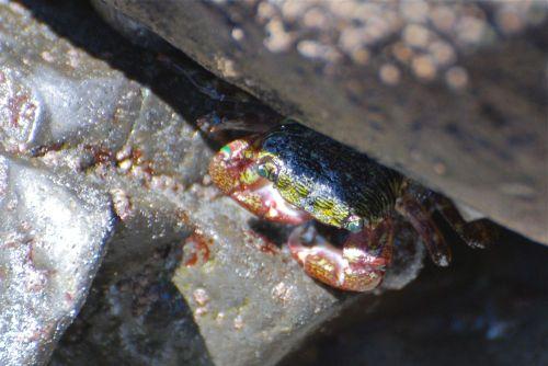 A_shore_crab