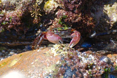 A_striped_shore_crab