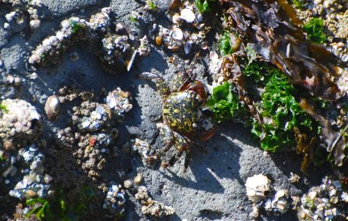 Another_shore_crab