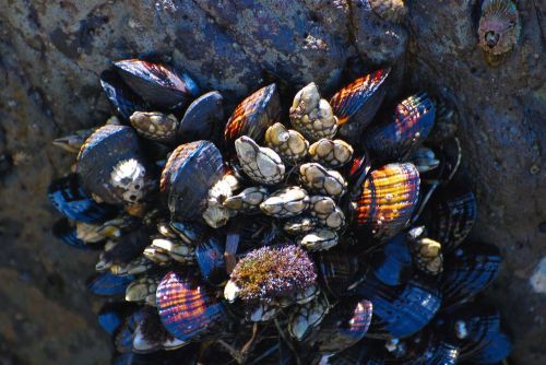 Californian_barnacles