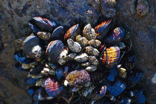 Californian_barnacles