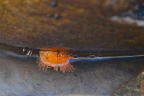 Orange_anemone_open