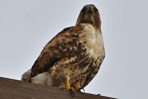 Juvenile_red-tailed_hawk