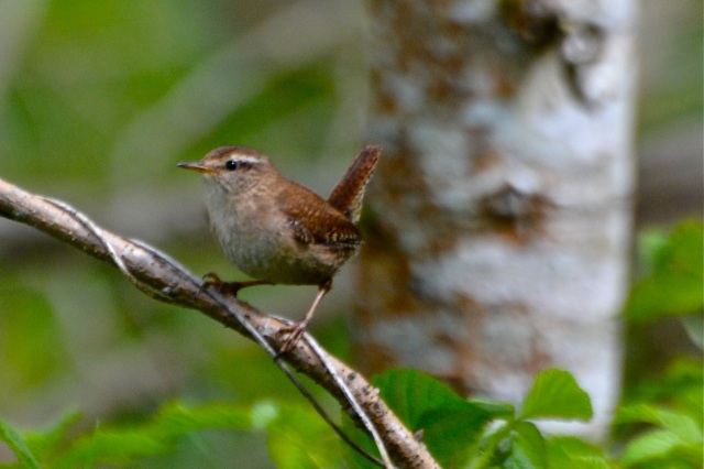Irish Wren