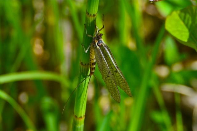 mayfly11