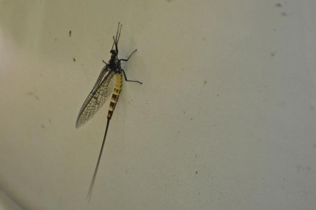 mayfly2
