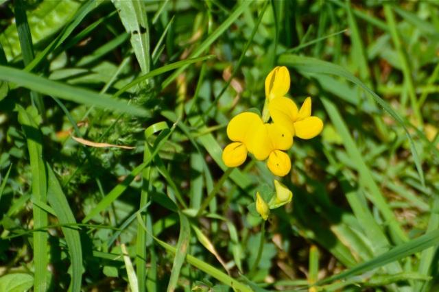 yellowvetch