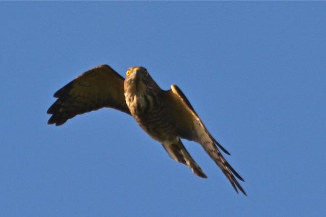 eaglel8