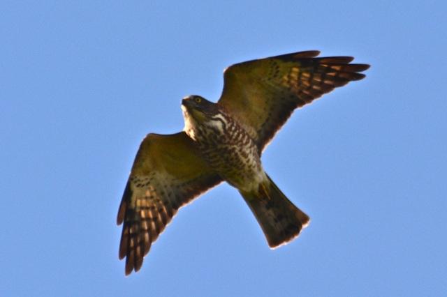 eaglel9