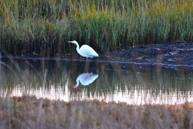 Great Egret doing some last minute fishing