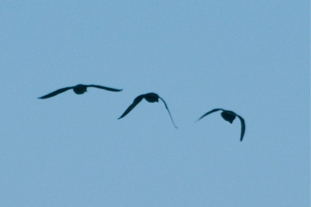 Ducks flying to roost