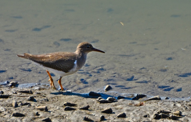 Busy Spotted Sandpiper