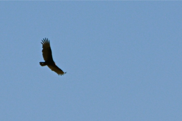 A high Turkey Vulture