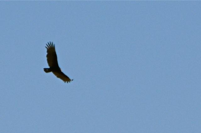 A high Turkey Vulture