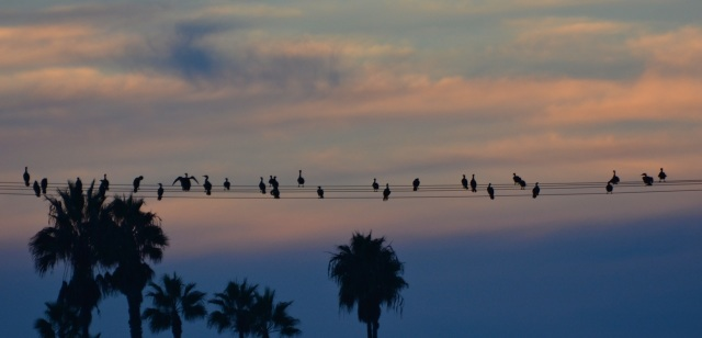 Cormorants lined up the wires with the sunset behind them